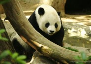 loveable panda