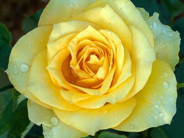 Roses screensaver - Rose screensaver ...