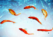 Red Fish Aquarium Screensaver