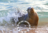 Sea Lion Screensaver