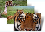 tigers themepack for windows 7