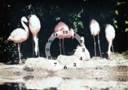 Flamingos Screensaver