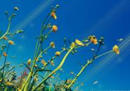 Solar Flowers Screensaver